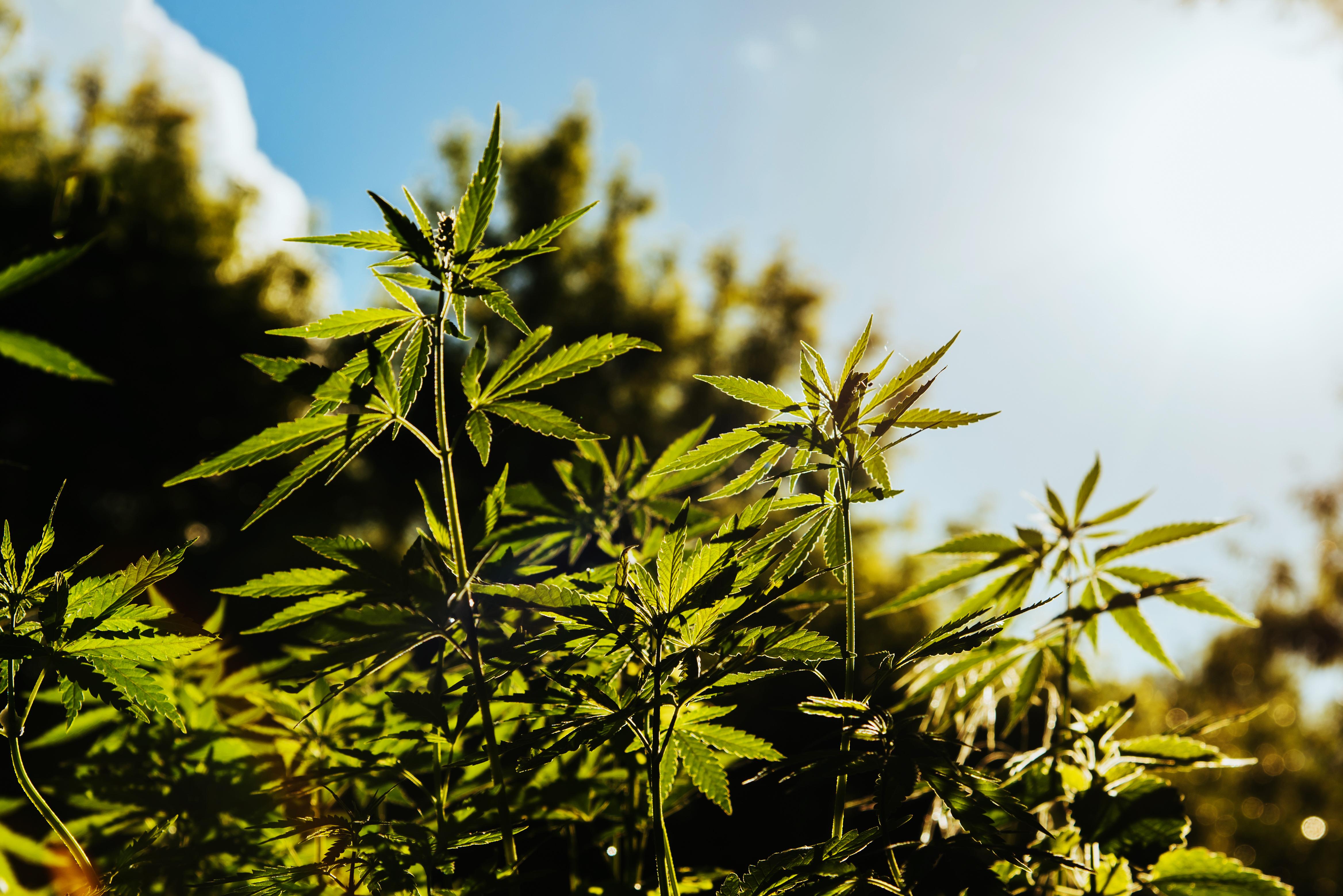 Behind the Scenes Developing CBD-rich Hemp – Cannabis Pharmacy